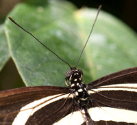 White Zebra Longwing Butterfly