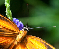 Male Orange Tiger Butterfly