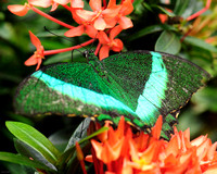 Emerald Monarch Butterfly