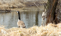 Canada Geese By The Shore